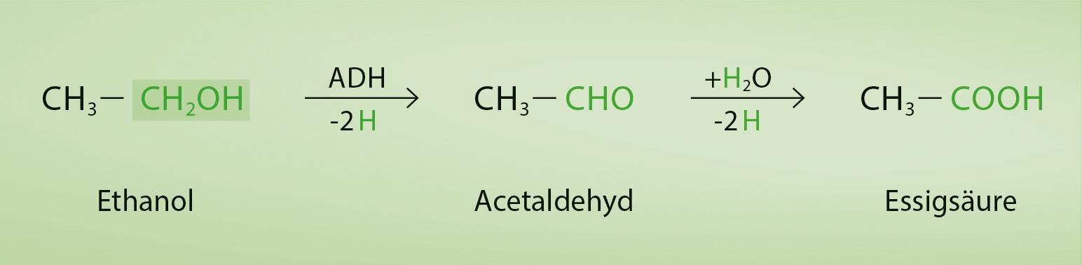 Alkoholabbau Enzym